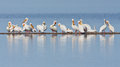 Bar of pelicans a group american white resting on a thin land in a lake Royalty Free Stock Photography