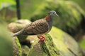 Bar-shouldered dove Royalty Free Stock Images