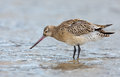 Bar tailed godwit limosa lapponica standing in the north sea Stock Images