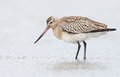 Bar tailed godwit limosa lapponica standing in the north sea Stock Photography