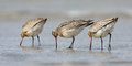 Bar tailed godwit limosa lapponica standing in the north sea Stock Image
