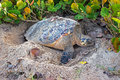 Barbados Hawksbill Sea Turtle digging a whole on the beach in preparation for burying eggs Royalty Free Stock Photo