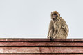 Barbary ape an adult standing on a red fence Stock Images