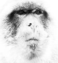 Barbary ape black and white face shot of a Royalty Free Stock Photos