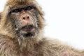 Barbary ape a closeup of a staring at the camera Royalty Free Stock Photo