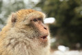 Barbary ape or macaque in morocco Royalty Free Stock Photography