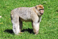 Barbary ape male standing on a field Stock Image