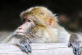 Barbary ape portrait of a Royalty Free Stock Image