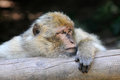 Barbary ape portrait of a Royalty Free Stock Photo