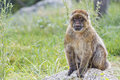 Barbary ape portrait on green grass background Stock Photos