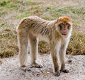 Barbary Ape standing on concrete Stock Photos