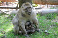 Barbary apes mother with a baby snuggled together Stock Photography