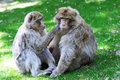Barbary apes sitting and lousing each other Stock Photo