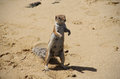 Barbary ground squirrel atlantoxerus getulus on fuerteventura beach Stock Photography