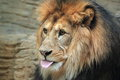 Barbary lion Stock Image