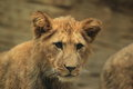 Barbary lion juvenile the detail of Stock Photo