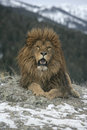 Barbary lion panthera leo leo captive Royalty Free Stock Photos