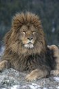 Barbary lion panthera leo leo captive Stock Photography