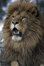 Barbary lion panthera leo leo captive Royalty Free Stock Photography