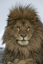 Barbary lion panthera leo leo captive Stock Image