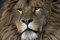Barbary lion panthera leo leo captive Royalty Free Stock Image