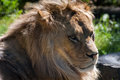Barbary lion panthera leo leo in close up Royalty Free Stock Photo