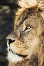 Barbary lion portrait panthera leo leo of a animal background Stock Photos