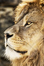 Barbary lion portrait panthera leo leo endangered animal spec of a background species Stock Photography