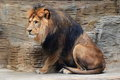 Barbary lion the sitting adult Royalty Free Stock Image