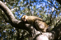 Barbary macaque asleep in gibraltar the only place in europe to live in freedom Stock Photo