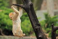 Barbary macaque the cub on the tree Royalty Free Stock Photo