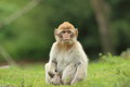 Barbary macaque the juvenile of sitting in the grass Royalty Free Stock Photos