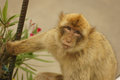 Barbary macaque the population in gibraltar Stock Photo