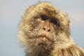 Barbary macaque the population in gibraltar Stock Photos