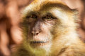 Barbary macaque posing for photo Stock Photography
