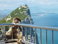 Barbary macaque a rests on the guard railing over a sheer cliff at the summit of the rock of gibraltar Stock Photo