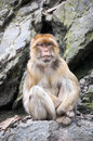 Barbary macaque sitting on a cliff magot rocky Royalty Free Stock Images