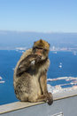 Barbary macaque the typical wild monkey you can find in gibraltar Stock Images