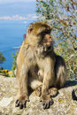 Barbary macaque the typical wild monkey you can find in gibraltar Royalty Free Stock Image