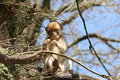 Barbary macaque young eating up in a tree Stock Images