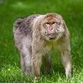 Barbary Macaques Monkey Royalty Free Stock Photo