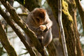Barbary Monkey Eating a Potato in a tree Royalty Free Stock Photos