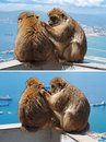 Barbary monkey grooming another in Gibraltar Stock Images