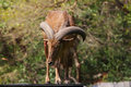 Barbary sheep close up standing Stock Photos