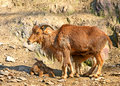 Barbary sheep lying species ammotragus lervia Royalty Free Stock Photography