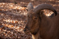 Barbary sheep portrait of a in autumn forest Royalty Free Stock Photography