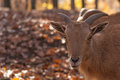 Barbary sheep portrait of a in autumn forest Stock Image
