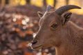 Barbary sheep portrait of a in autumn forest Royalty Free Stock Image