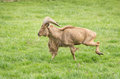 Barbary sheep ram of breed running on grass Stock Photo