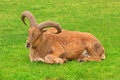 Barbary sheep single male lying down on green grass Stock Images